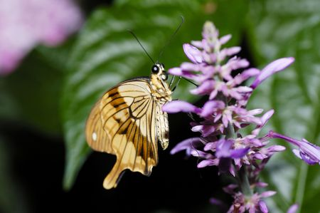 A giant tropical butterfly sitting on a  flower Stock Photo - 2611269