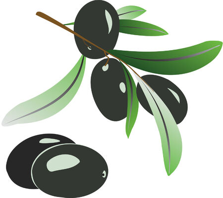 Vector illustration of olive branch with black olives on white Vector