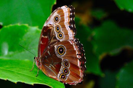 Wild male morpho helenor montezuma butterfly on a tropical plant Stock Photo - 2876653