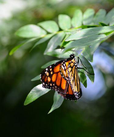 danaus: Side view of Monarch, Danaus plexippus butterfly on a plant Stock Photo