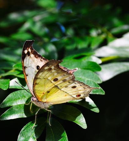 a rare: Rare African Salamis parhassus butterfly