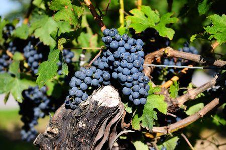 rich flavor: Red grapes in a vineyard on Niagara Peninsula, Canada Stock Photo