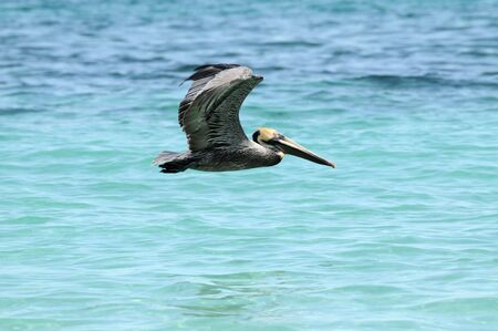 Wild pelican flying over blue sea water photo