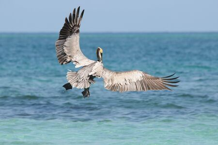 Wild pelican taking off sea water and flying away photo