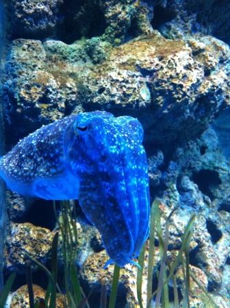 cuttlefish: Cuttlefish in a aquarium Stock Photo