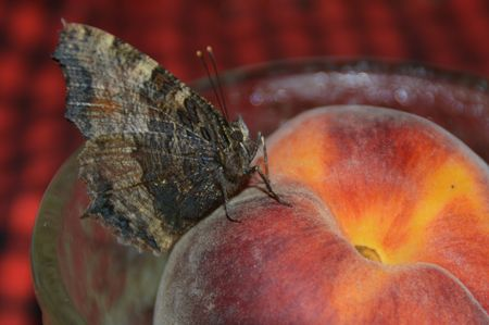 tonalit�: La chambre a gaspill� papillon assit pour se reposer sur une p�che fra�che.