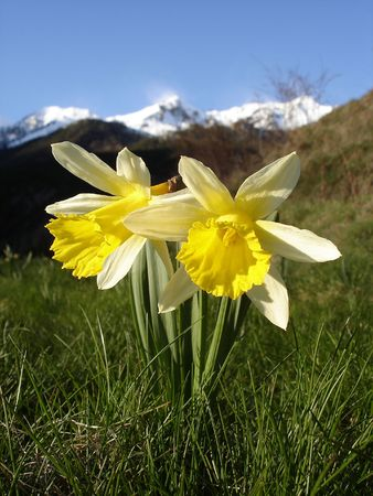 Narcissuses (Narcissus sp.) in a high mountain meadow in the Central Pyrenees of Spain.                        Stock Photo