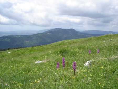 Orchids in a Highland Meadow in Chasseron area, Jura Mountains