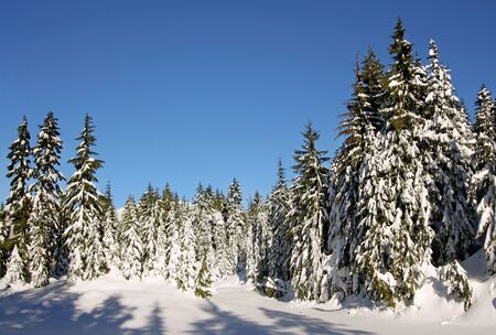 Trees in the mountains covered in fresh snow. Stock Photo