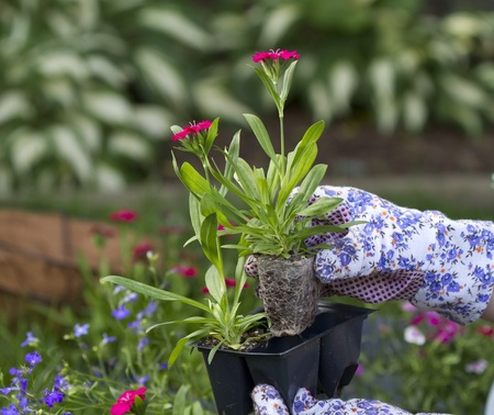 action of a gardner grabbing an annual flower to plant  scene takes place in garden  shallow depth of field
