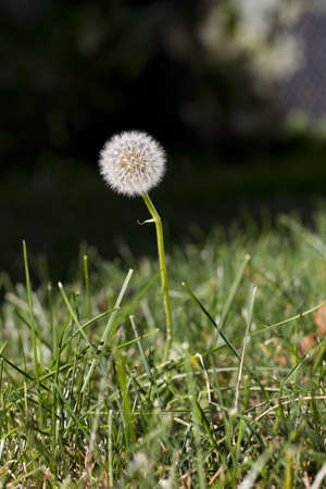 shallow depth of field: a dandelion flower emerges from the blades of grass  macro