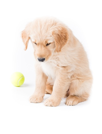 dog toy: Retriever Puppy Looking Down  a cute 2 month old golden retriever puppy is sitting and looking down almost sad with a green tennis ball in the backgrund  on white Stock Photo