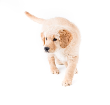 eagerness: Retriever Puppy Walking Toward  a cute 2 month old golden retriever puppy walks toward camera left with eagerness and attention Stock Photo