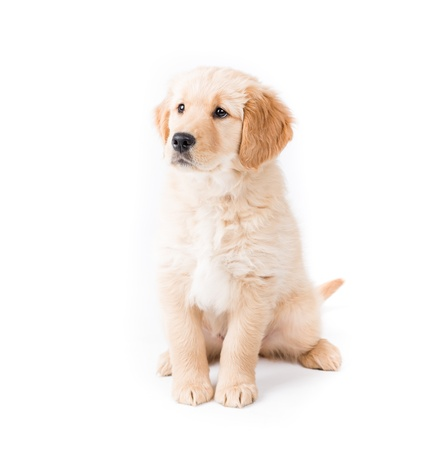 Retriever Puppy Sitting Looking Lef t cute 2 month old golden retriever puppy looks camera left very aware on white photo