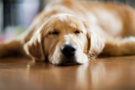 mouth closed: Sleeping Puppy a 5 month old puppy sleeping on a hardwood floor  shallow depth of field  focus on eyes