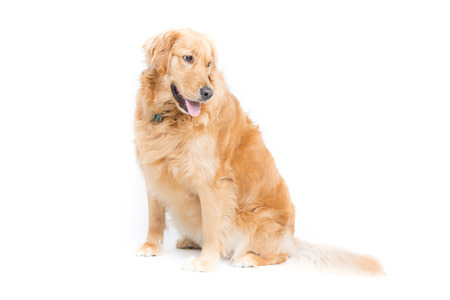 2 year old: a 2 year old purebread golden retriever sits on a white background and looks right with mouth open and tongue hanging out