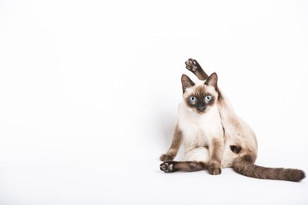 Eine Katze starrt in die Kamera in der Mitte seinen Schritt zu reinigen. Bein über dem Kopf in peinliche Lage. Standard-Bild - 47955829