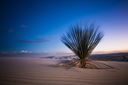 a cactus plant in the white sands of new mexico dune during sunset Stock Photo