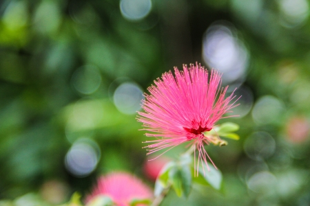 powder puff: Pink Powder Puff with bokeh