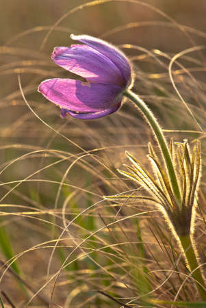 pasque-flower blooming in the meadow in spring Stock Photo - 20891807