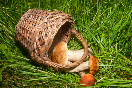 basket and mushrooms on a background of green grass photo