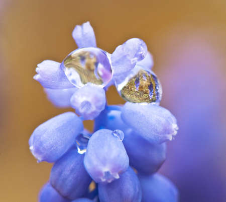 drops of rain water on a flower muscari photo