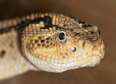 Ritratto di un serpente velenoso primo piano