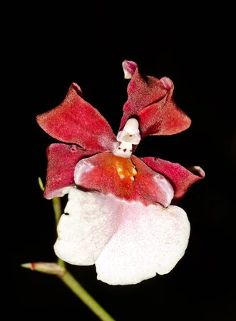 red and white orchid on a black  photo