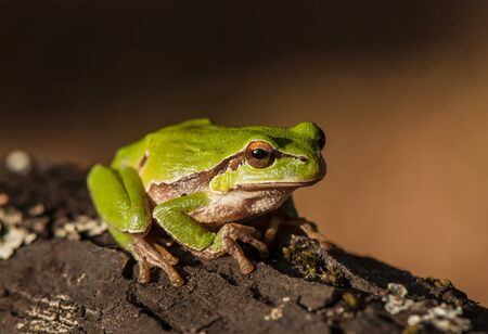 green tree frog: green tree frog on a tree bark covered with lichen