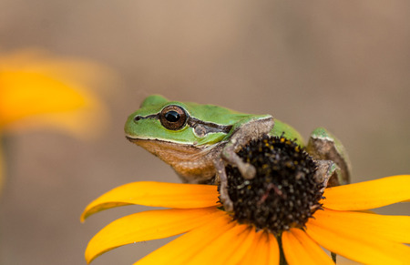green tree frog: green tree frog sitting on a yellow flower Stock Photo