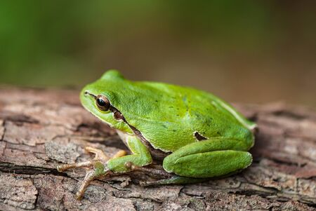 green tree frog on a tree bark covered with lichen