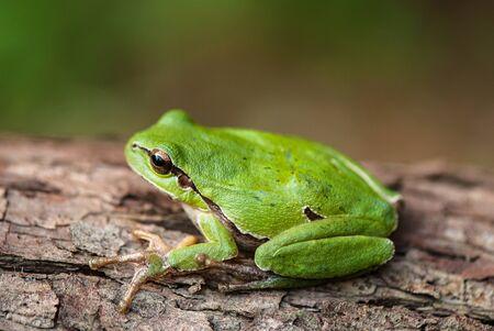 jungle animals: rana de �rbol verde en una corteza de �rbol cubierto de l�quenes Foto de archivo