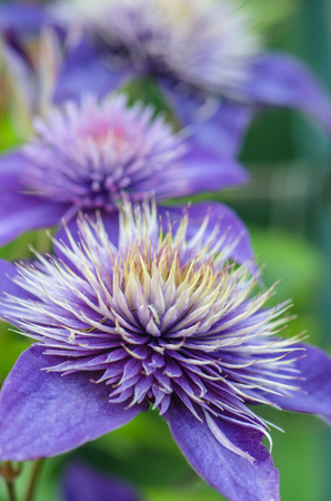 the stamens: Blue clematis flowers with corolla fluffy stamens on green background Stock Photo
