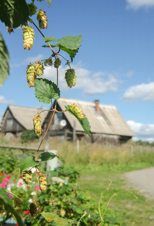 branch of hops close-up and a rustic house on the background
