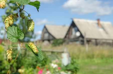 branch of hops close up and farmhouse in the background. Horizontal shot