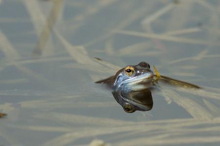 rana arvalis: The Moor Frog (Rana arvalis) in blue wedding dress