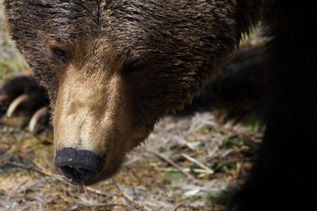 Brown Bear  Ursus arctos  photo