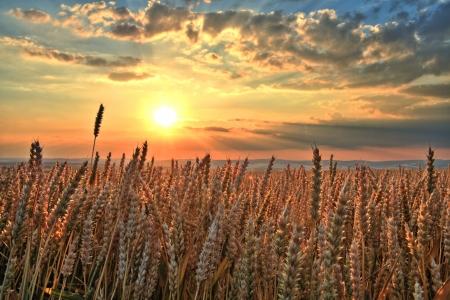 Sonnenuntergang über Weizen-Feld
