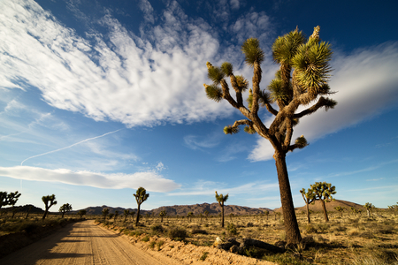 united states: Desert Road with Joshua Trees in the Joshua Tree National Park, USA