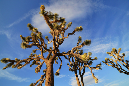joshua: Joshua Trees in the Joshua Tree National Park, USA Stock Photo