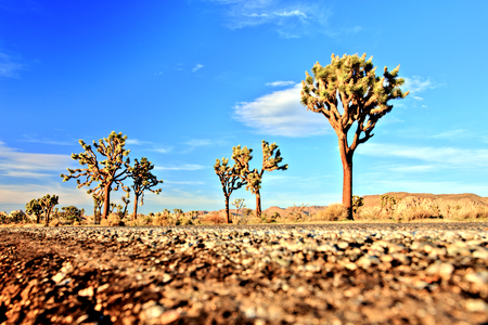 joshua: Desert Road with Joshua Trees in the Joshua Tree National Park, USA