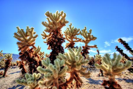 Cholla Cactus Garden at Joshua Tree National Park, California, USA
