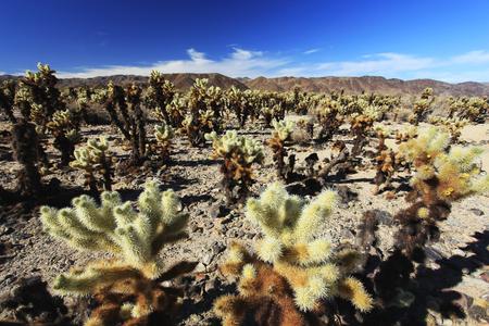 cholla: Cholla Cactus Garden at Joshua Tree National Park, California, USA