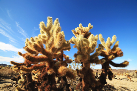 joshua: Cholla Cactus Garden at Joshua Tree National Park, California, USA