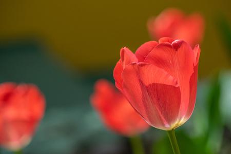 tulips my garden