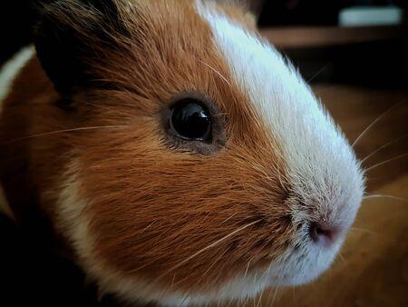a lovely guinea pig face