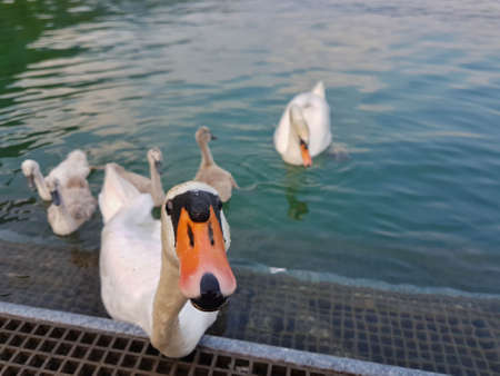 swan with children on iseo lake Imagens