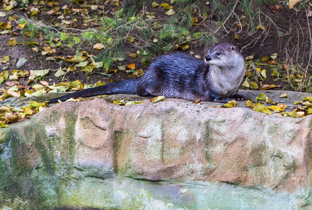 small clawed: Otter on a rock