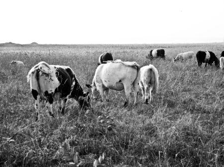 cows in a field Фото со стока