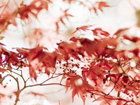 Japanese Maple Leaves Фото со стока